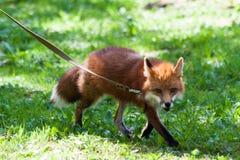 Fox para uma caminhada no jardim zoológico Fotografia de Stock