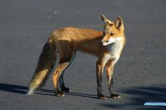 Fox in the parking lot royalty free stock photography
