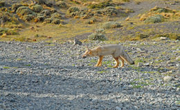 Fox in Patagonia Royalty Free Stock Photos