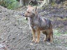 Fox Patagonian Fotografia Stock Libera da Diritti