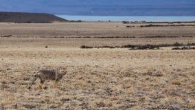 Fox Patagonian fotografie stock libere da diritti