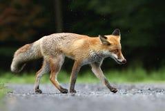 Fox on path Stock Photos