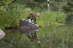 Fox patrzeje nad jeziorem Obraz Stock