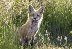 Fox pequeno feliz fotos de stock royalty free