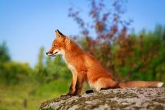 Fox Stock Photos