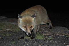 A fox photographed while approaching furtive in the darkness - Etna Park stock images