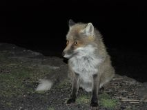 A fox photographed in the darkness - Etna Park royalty free stock images