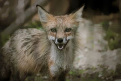 Fox in più forrest Fotografie Stock Libere da Diritti