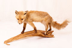 A fox Stock Photography