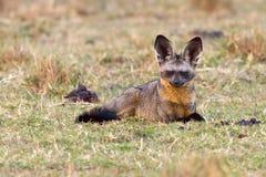 Fox Pipistrello-eared attento immagine stock
