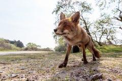 Fox pobyt Fotografia Stock