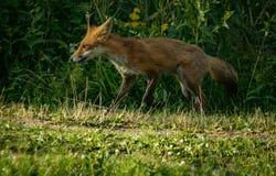 Fox pojawienie Obrazy Royalty Free