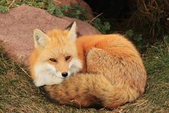 Fox por la guarida Fotografía de archivo