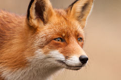 Fox-Porträt Lizenzfreies Stockfoto