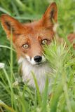 Fox portrait Stock Photography