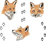 Fox, portrait, color, fox's snout, vector, silhouette, set. Portraits of foxes from different angles Royalty Free Stock Photo