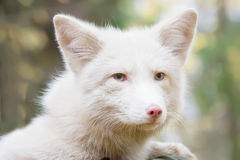 Fox. portrait. a cunning face. the color is white. stock photography