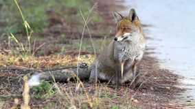 Fox. Portrait of fox in italy