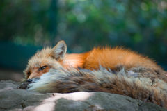 Fox portrait. Japanese red fox portrait , Miyagi , Japan Stock Photo