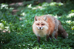Fox portrait. Japanese red fox portrait , Miyagi , Japan Stock Photos