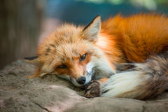 Fox portrait. Japanese red fox portrait , Miyagi , Japan Royalty Free Stock Photos