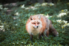 Fox portrait. Japanese red fox portrait , Miyagi , Japan Stock Image