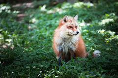 Fox portrait Royalty Free Stock Photos
