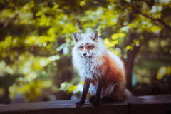 Fox portrait. Japanese red fox portrait , Miyagi , Japan Royalty Free Stock Photography