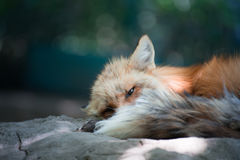 Fox portrait. Japanese red fox portrait , Miyagi , Japan Stock Photography