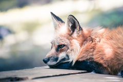 Fox portrait. Japanese red fox portrait , Miyagi , Japan Stock Images