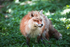 Fox portrait. Japanese red fox portrait , Miyagi , Japan Royalty Free Stock Image
