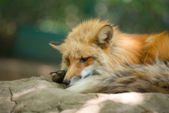 Fox portrait. Japanese red fox portrait , Miyagi , Japan Royalty Free Stock Photo