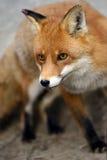 Fox Stock Images