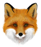 Fox. Portrait of realistic orange fox on the white background royalty free illustration