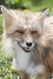 Fox portrait. Portrait of a young european red fox in the meadow in spring, symbol for slyness Stock Image