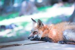 Fox portret Obrazy Stock