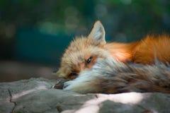Fox portret Fotografia Royalty Free