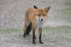 Fox. Posing fox looking straight at me Stock Images