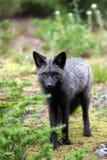 Fox preto e de prata que está na floresta imagens de stock royalty free