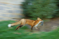 Fox with the prey. Running fox carrying its prey Royalty Free Stock Image
