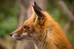 Fox-Profil Lizenzfreie Stockfotos