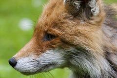 Fox profil Zdjęcia Royalty Free