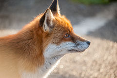 Fox profile Royalty Free Stock Photography