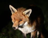Fox przy nocą w miastowym ogródzie Fotografia Stock