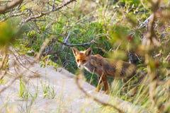 Fox przy poroślem Obrazy Royalty Free