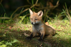 Fox pup. Pup just come out from the cave at a forest edge Royalty Free Stock Photos