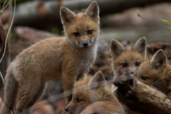 Fox Pup Pyramid royalty free stock photography