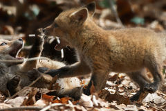 Fox Pup Square Off Stock Images