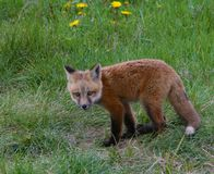Fox pup takes a breather from playing with her siblings in Jackson Hole, Wyoming. Four fox pups enjoy a romp in a field next to Fish Creek while mom keeps a Royalty Free Stock Photography