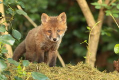 Fox pup. View of a fox pup looking into the camera Royalty Free Stock Photos